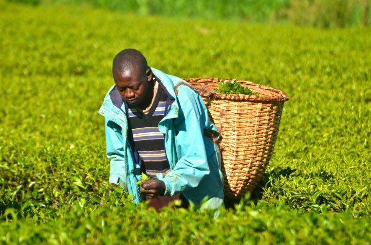 Cosmos begins picking tea before 8 a.m. and spends the day in the field
