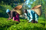 Eushiliah and Cosmos work in the tea fields