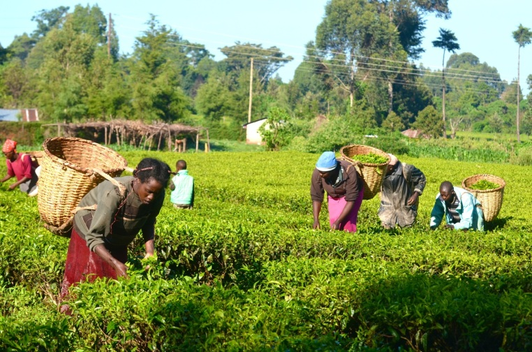 Small group of tea farmers work in Siwo tea field